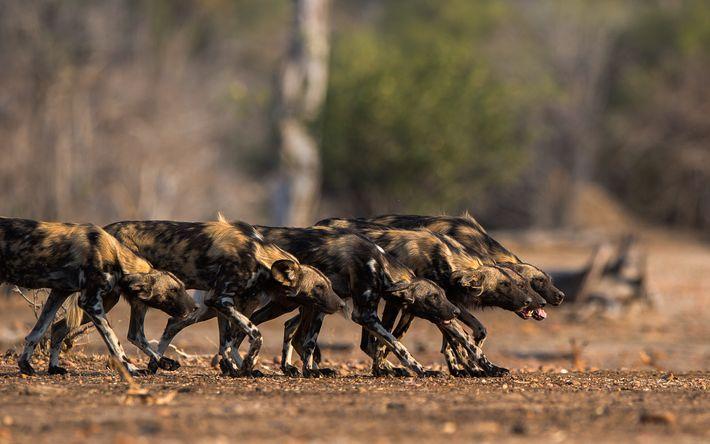 Licaones cazando
