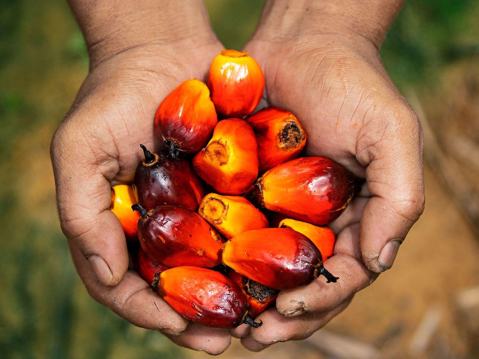 Fruto de palma aceitera