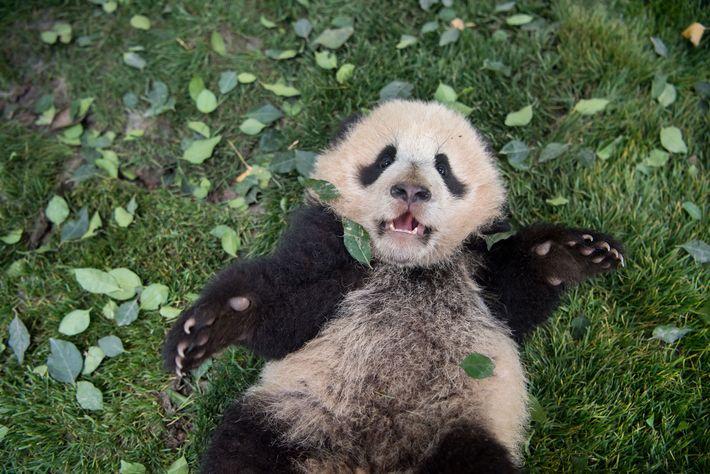 Una cría de panda gigante