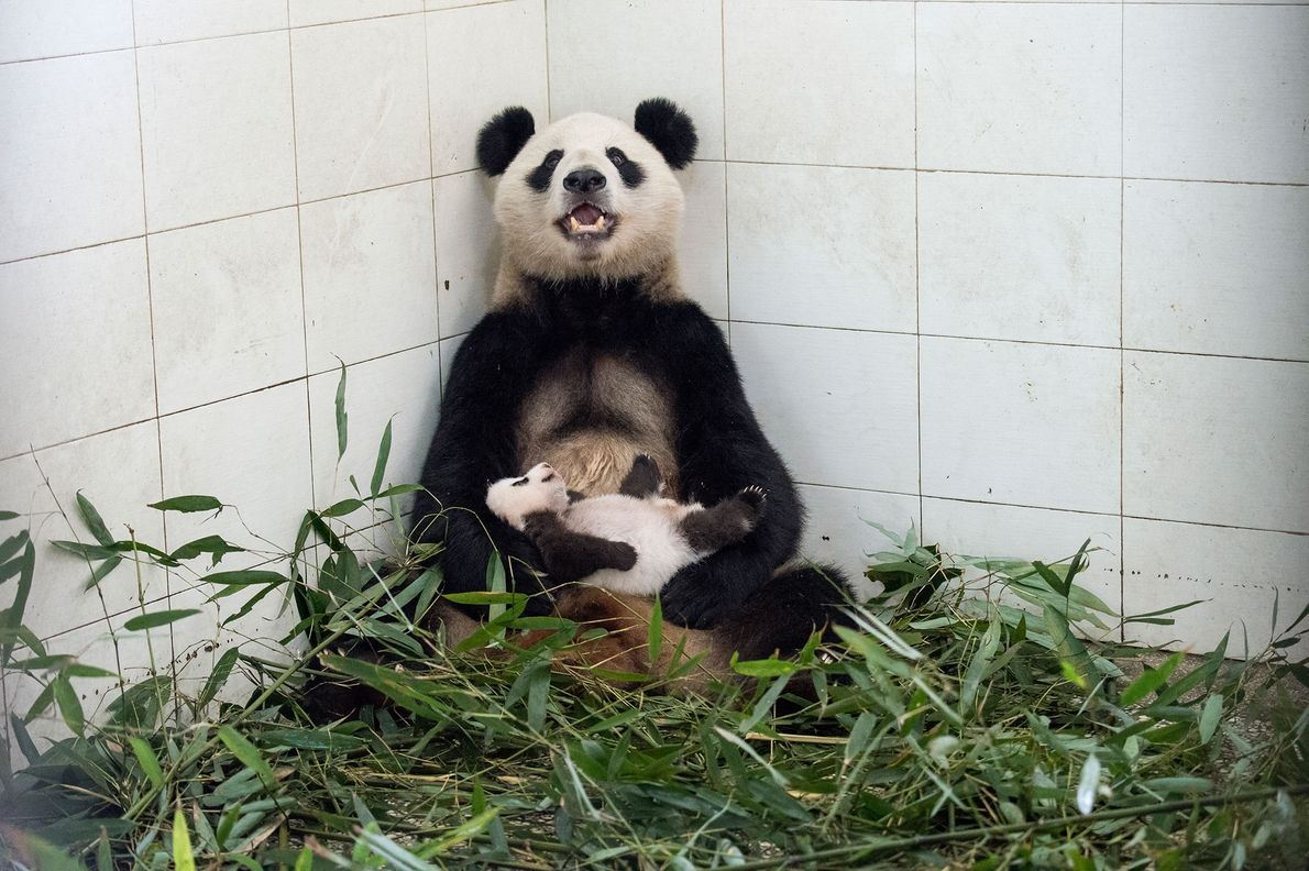 Una mamá panda acuna a su cría