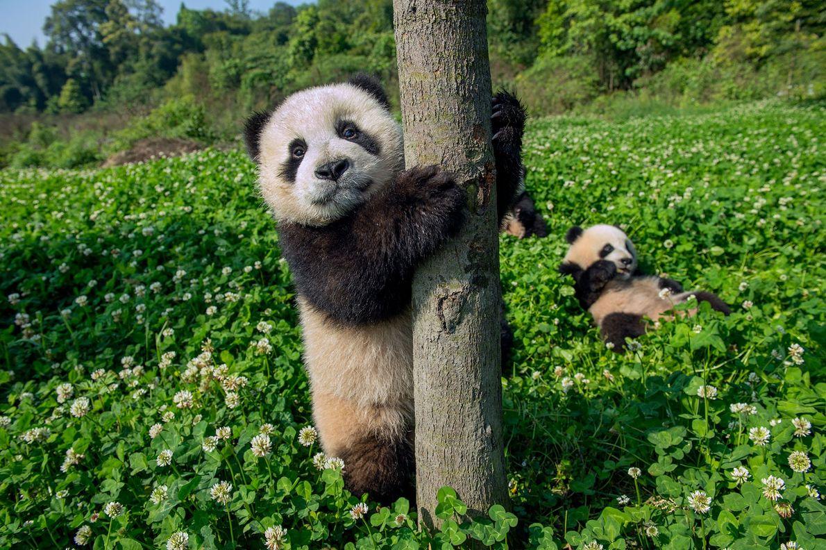 Pandas de seis meses jugando