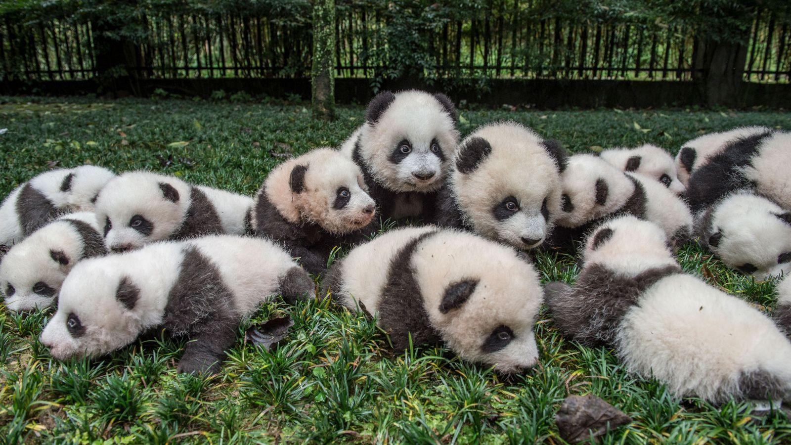 Pandas gigante