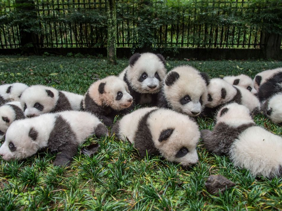 Las sorprendentes dificultades de fotografiar pandas gigantes