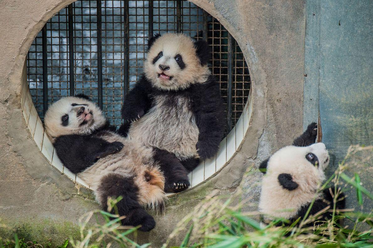 Tres crías de panda