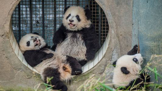 Ami Vitale: tres años fotografiando pandas gigantes