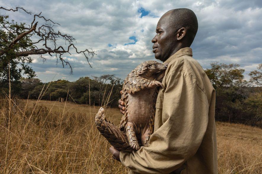 En la Tikki Hywood Foundation de Zimbabue, se asigna un cuidador a cada pangolín rescatado, como ...