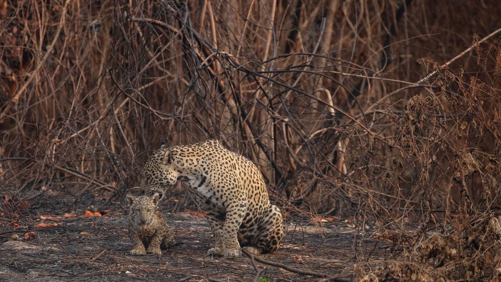 Un jaguar y su cachorro