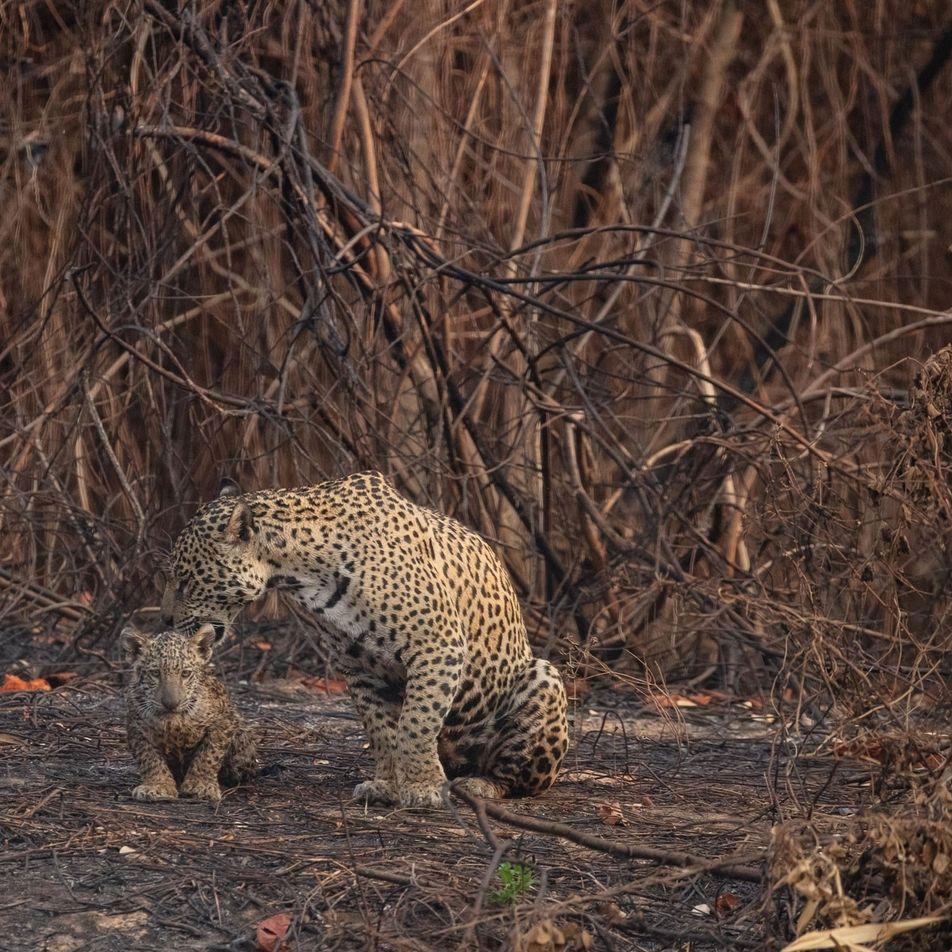 Estos voluntarios rescatan a los jaguares y a otros animales heridos en los incendios de Brasil