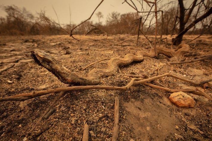 Una serpiente que murió durante el incendio