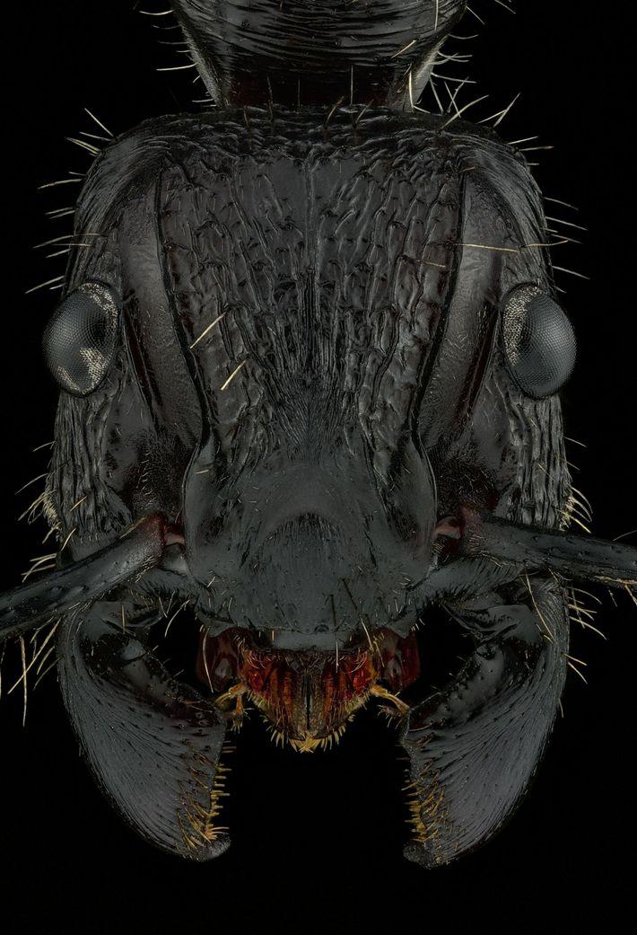 Paraponera clavata - Nicaragua