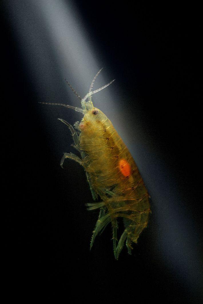 Anfípodo invadido por larvas de acantocéfalo