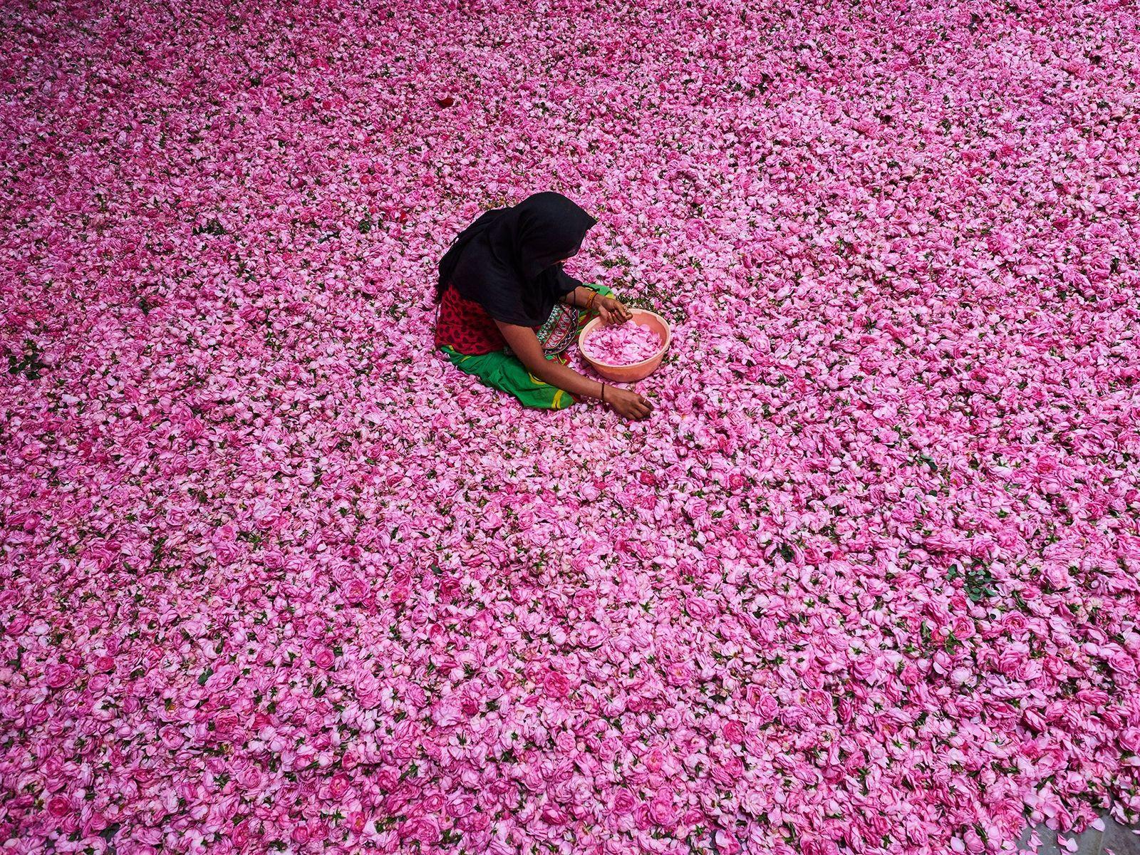 Pétalos de rosa en Kannauj
