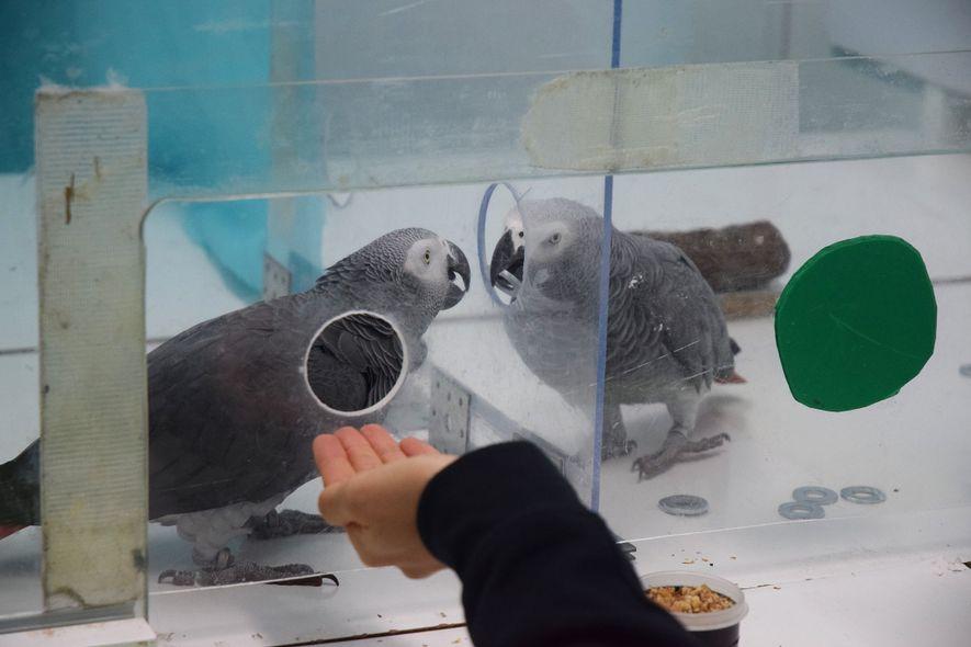 Los loros yacos Nikki y Jack intercambian fichas durante un experimento reciente.
