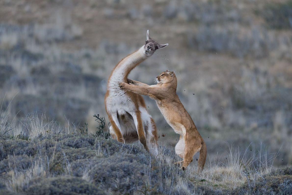Puma contra guanaco