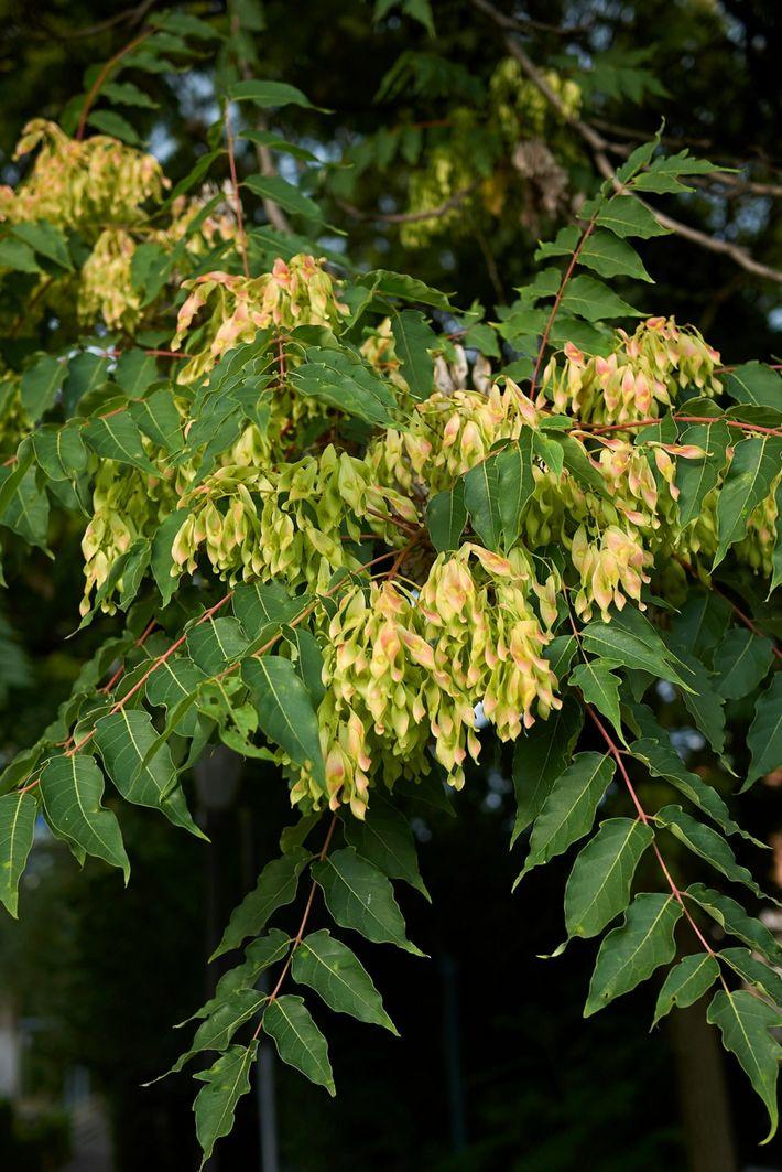 Un árbol Ailanthus altissima