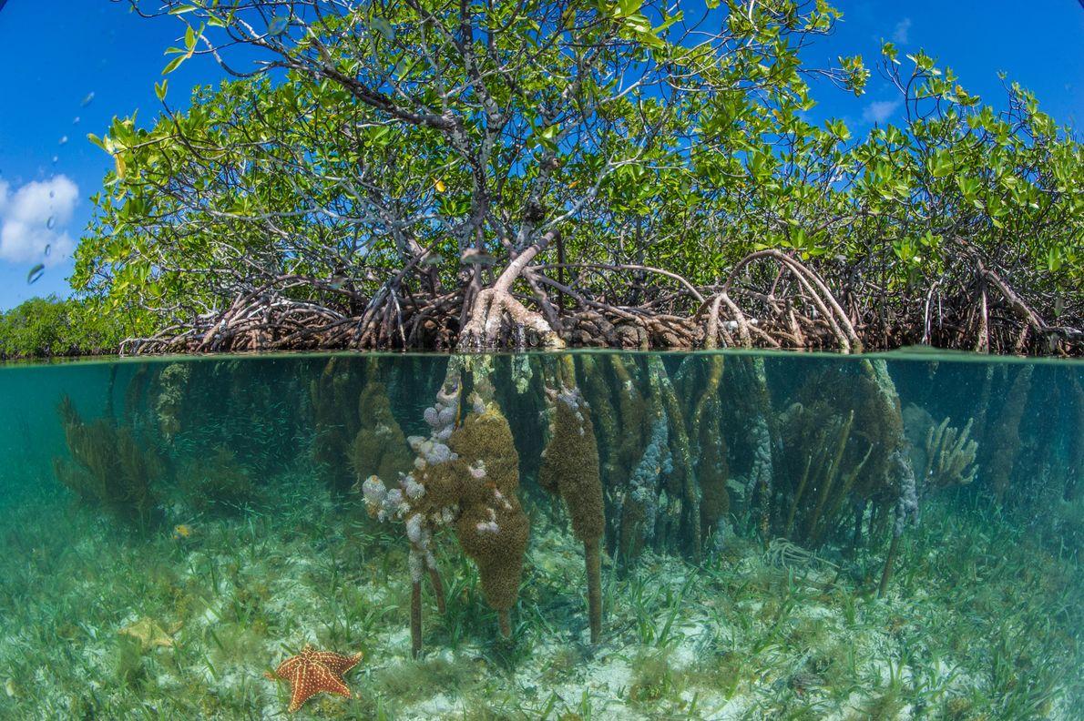 Imagen de los manglares rojos cerca del cayo South Water en Pelican Beach, Belice