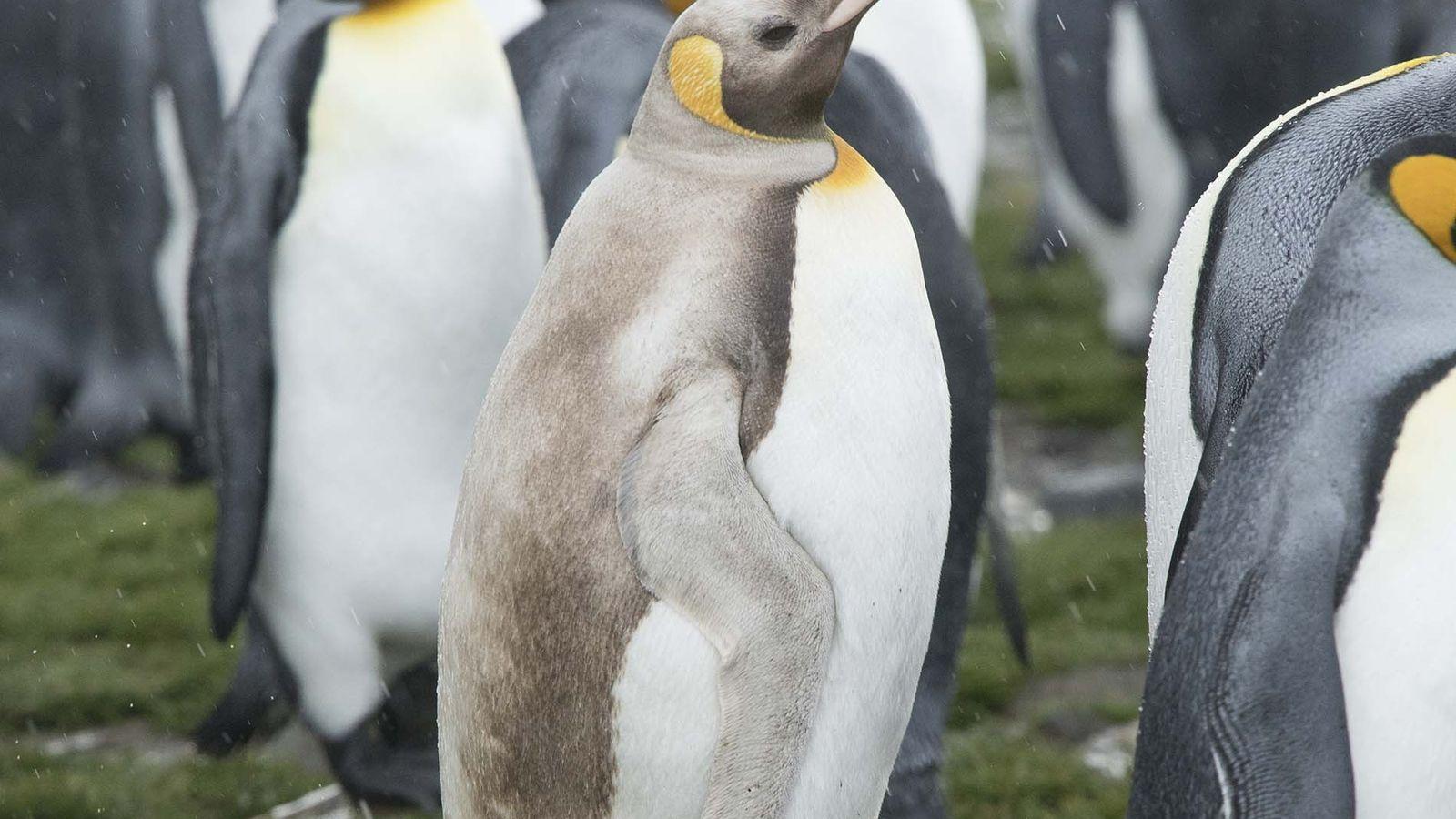 Un pingüino rey