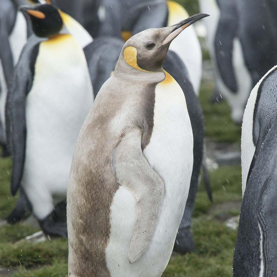 Fotografían en una isla remota lobos marinos y un pingüino de un insólito color claro