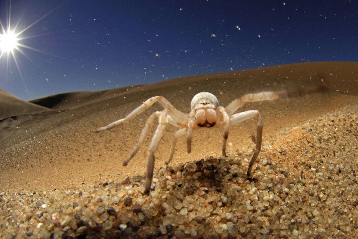 Araña dama blanca
