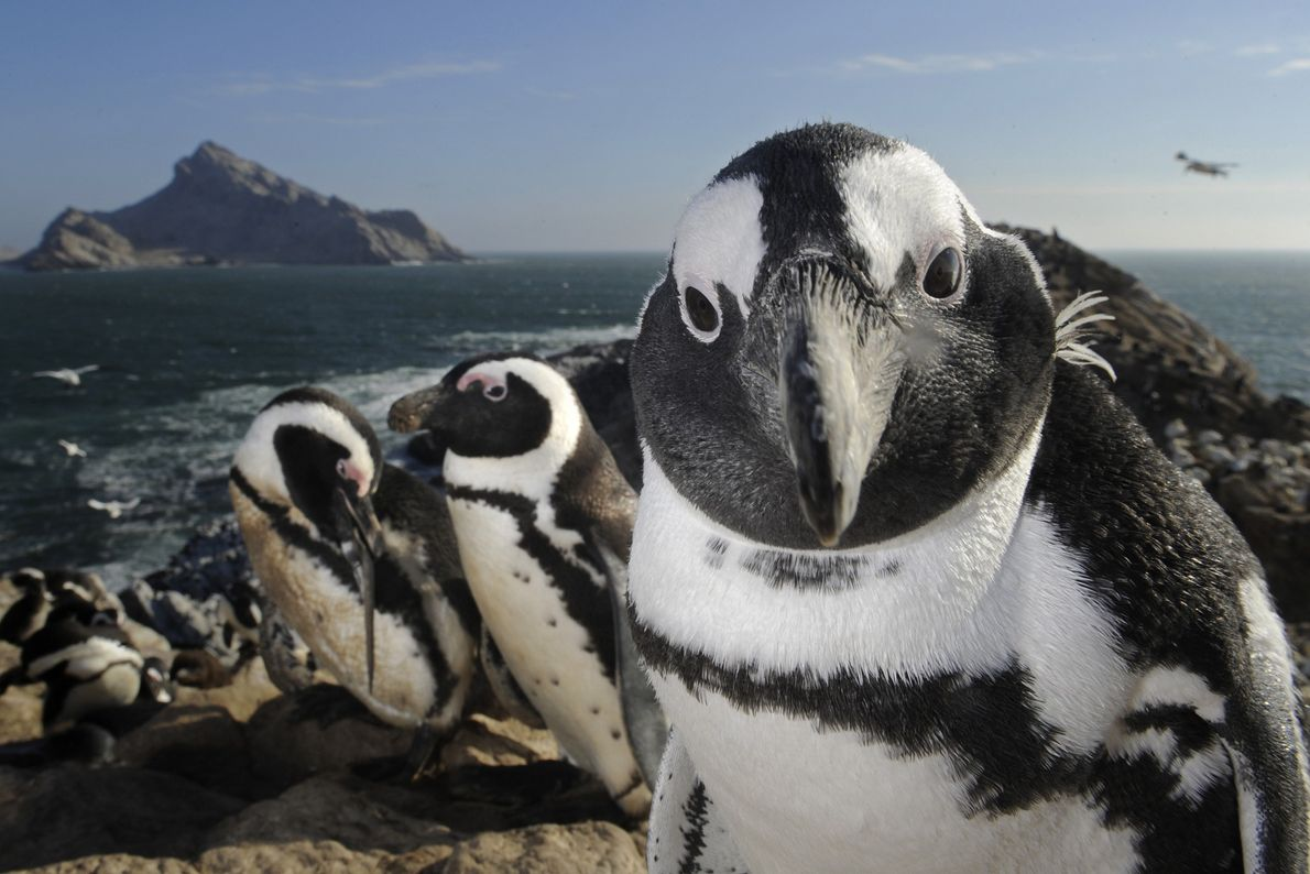 Pingüino de El Cabo