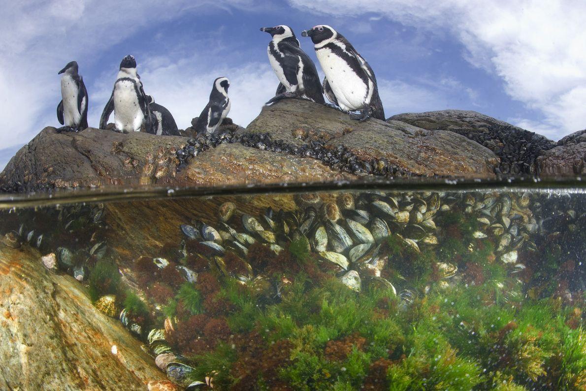 Los pingüinos africanos