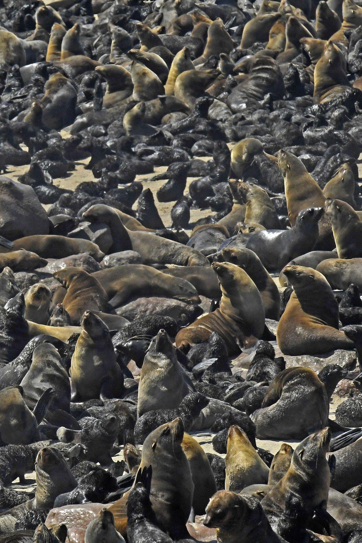 Lobos marinos de El Cabo