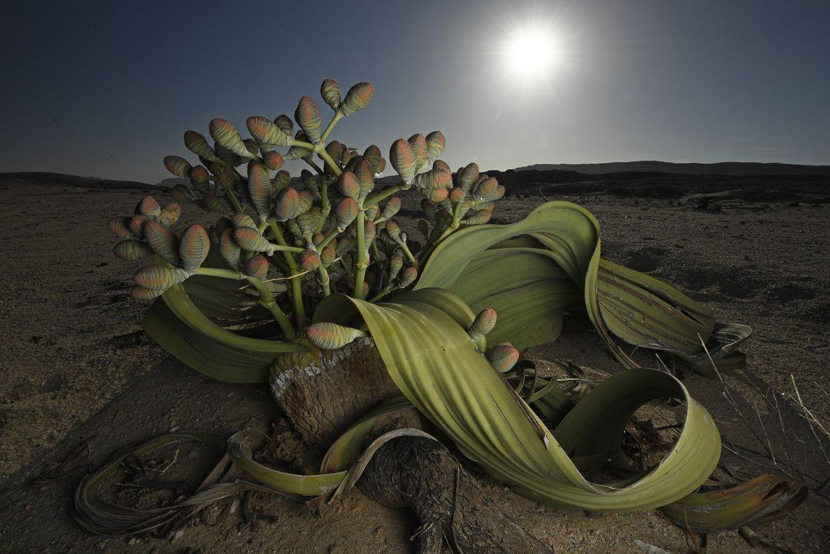 Una planta Welwitschia