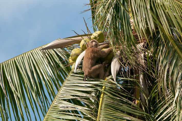 Macaco en un cocotero