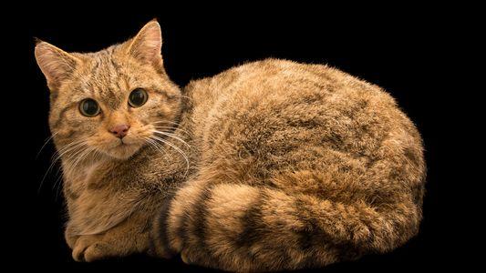 Descubren restos del antepasado de los gatos domésticos en cuevas polacas