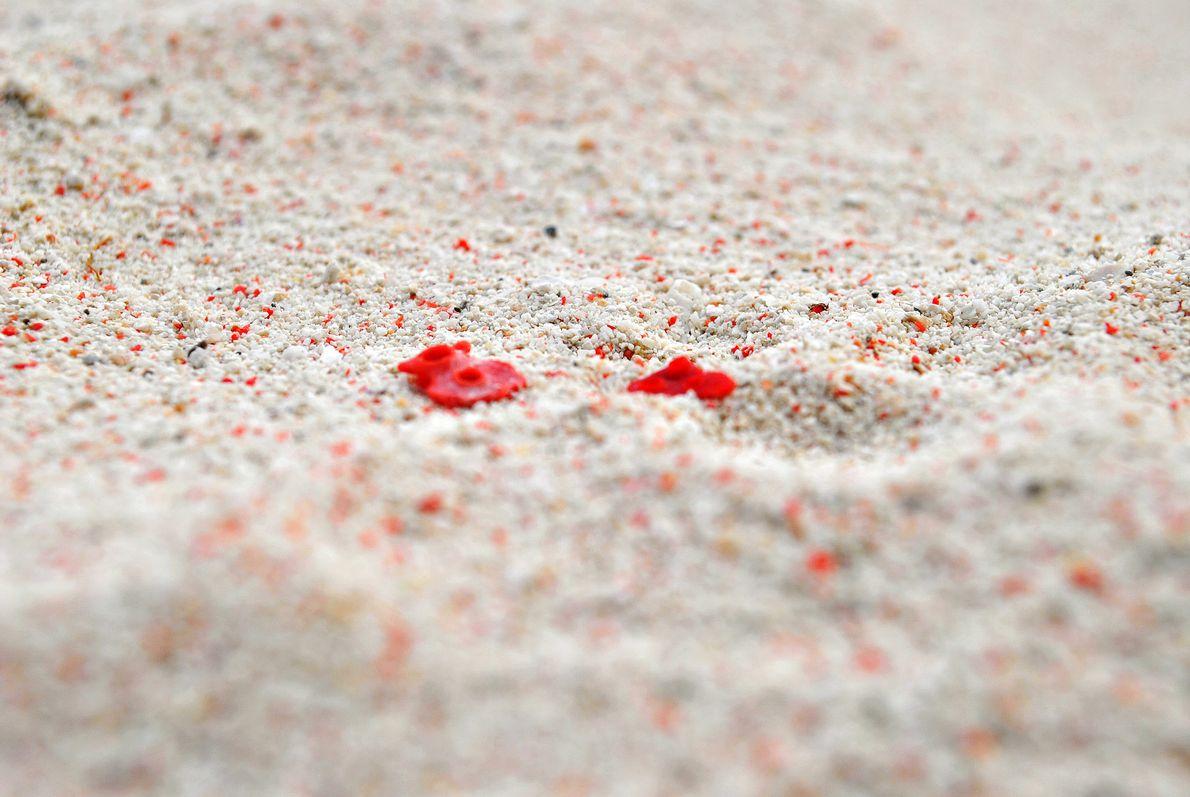 Imagen de corales en la playa de Pink Beach en la isla Gran Santa Cruz, Zamboanga, ...