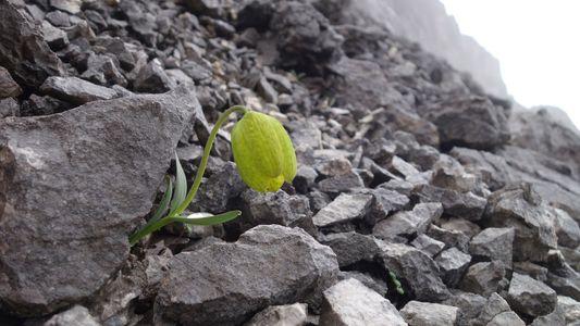 Esta planta está evolucionando para esconderse de su depredador: los humanos