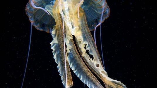 Descubren el envoltorio de un paquete de tabaco dentro de una medusa