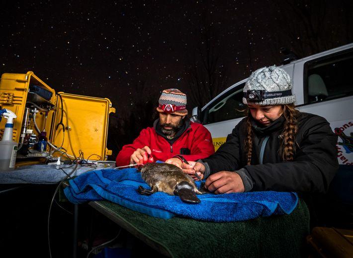 Gilad Bino y Tahneal Hawke pegan un transpondedor a un ornitorrinco