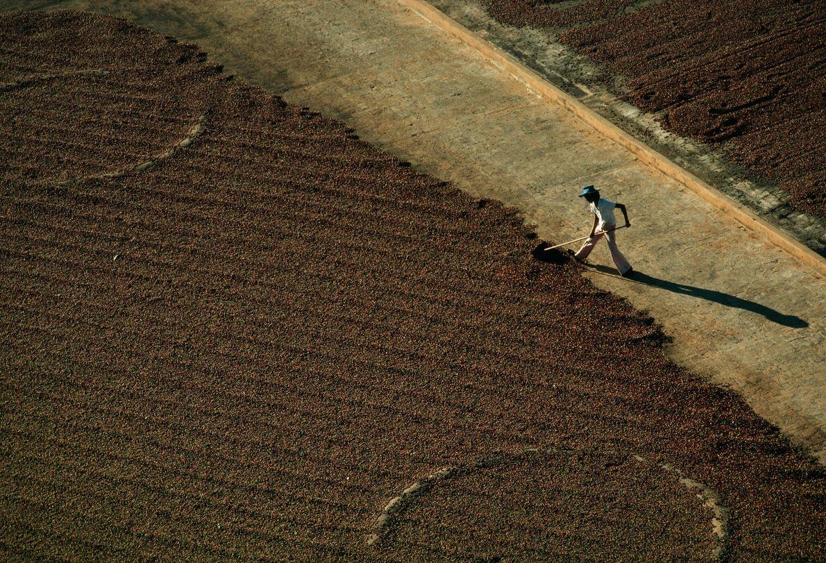 Plantación de café en Brasil