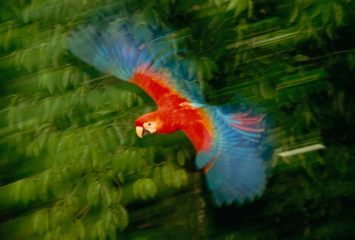 Guacamayo rojo volando