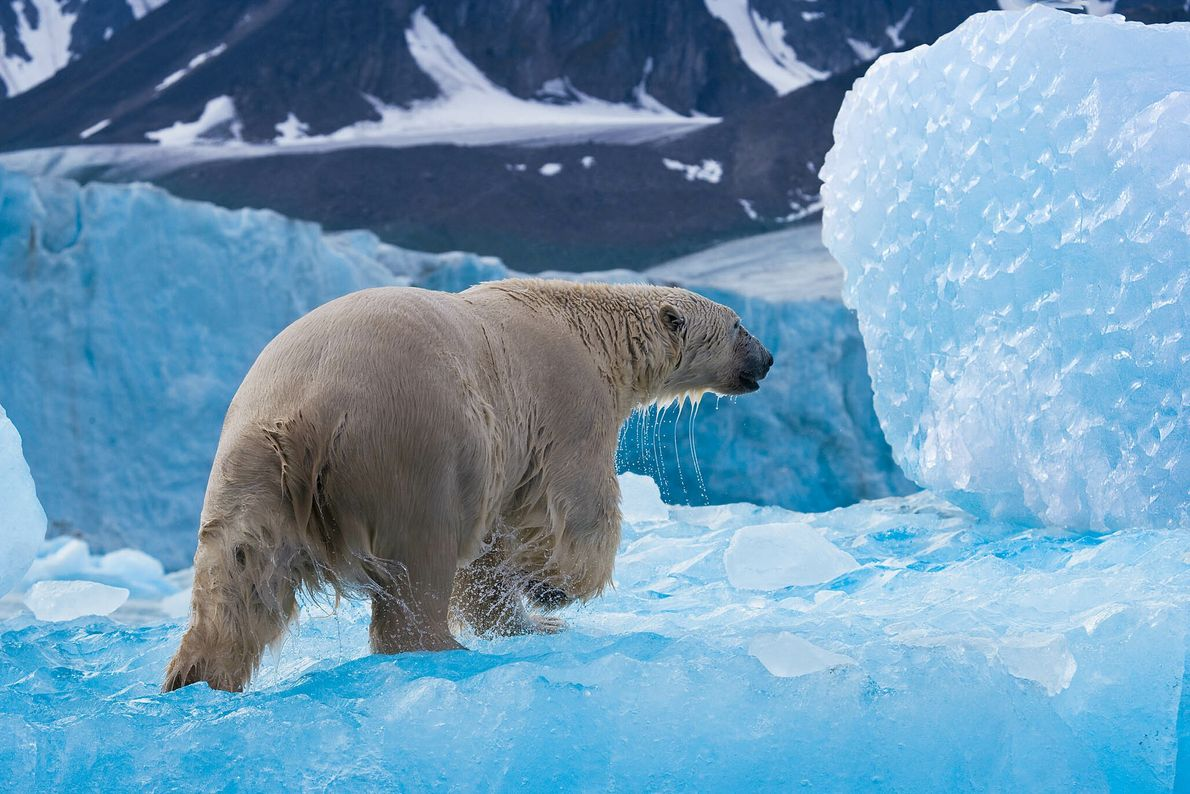 Un oso polar recorre el hielo en busca de focas
