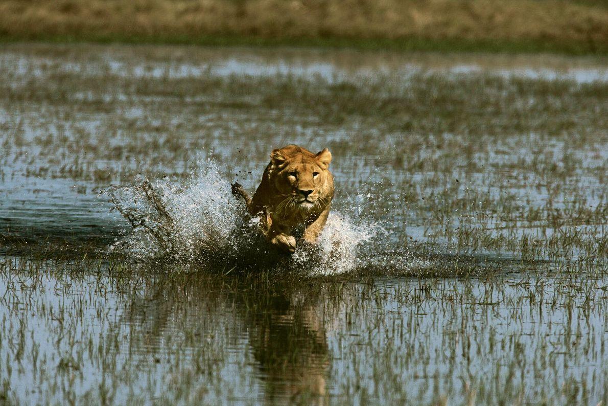 Una leona corre hacia su presa
