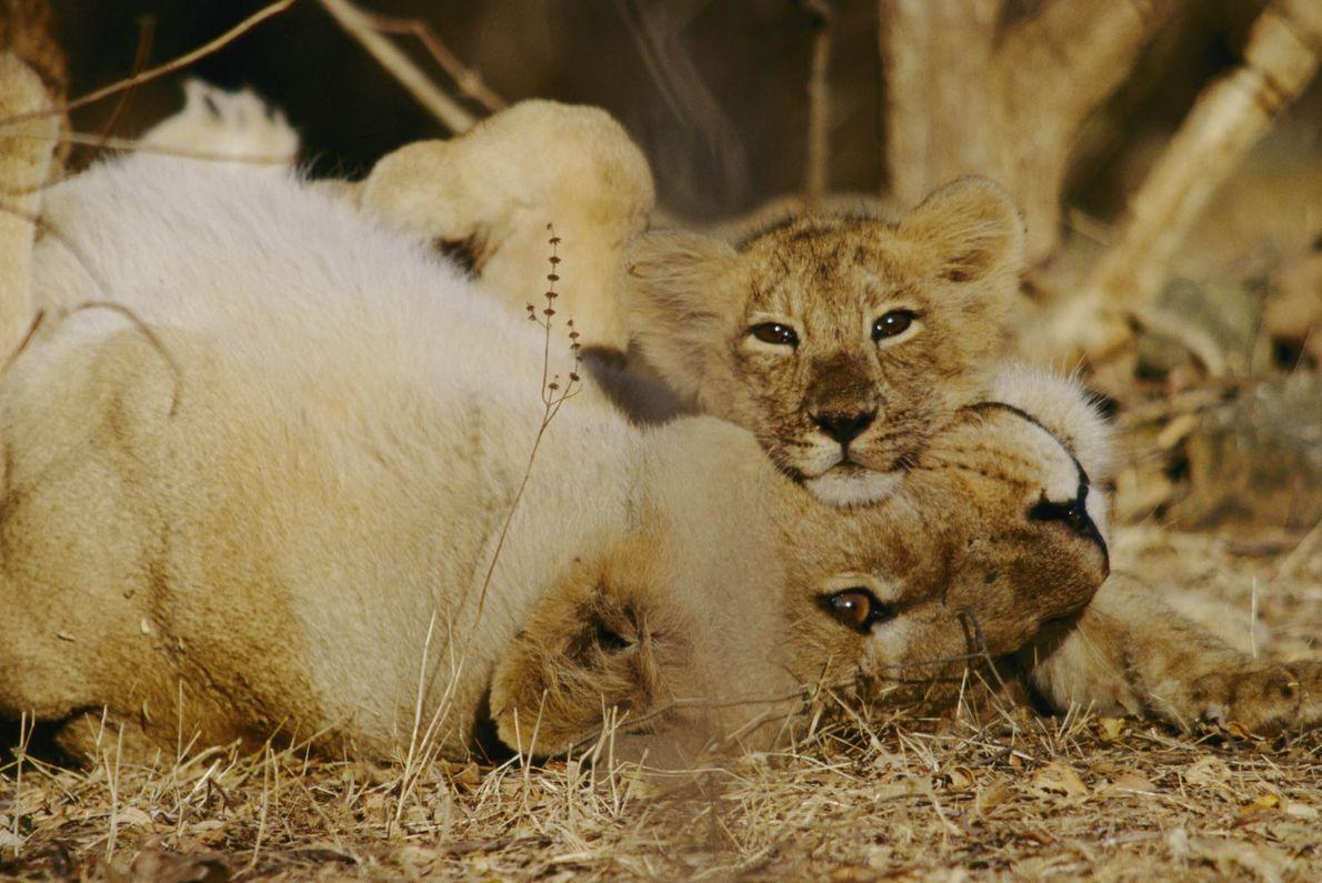 Un cachorro de león asiático con su madre