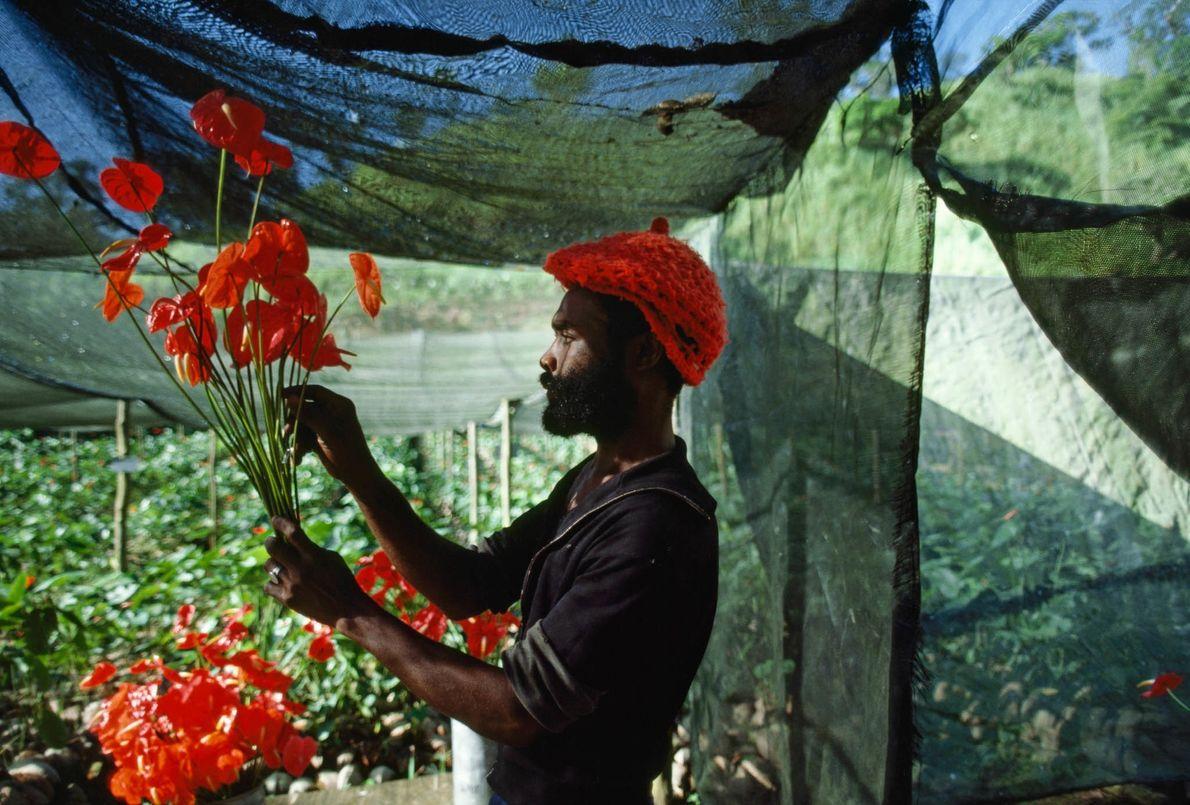 Plantación de flores en Jamaica