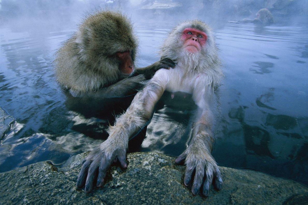 Monos de las nieves