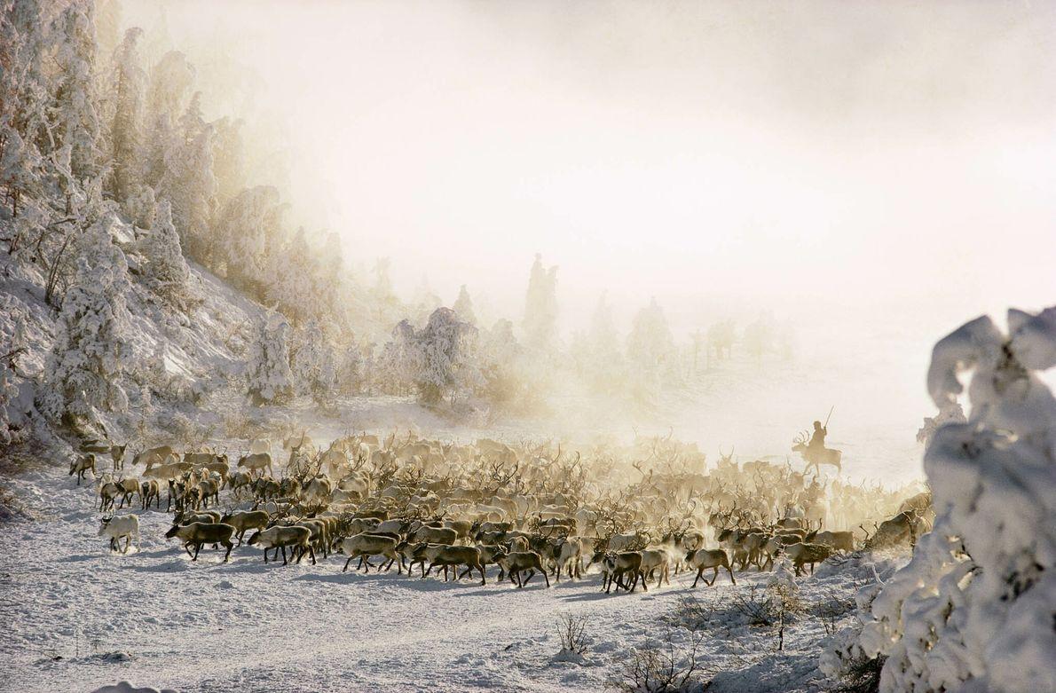 Renos en Siberia