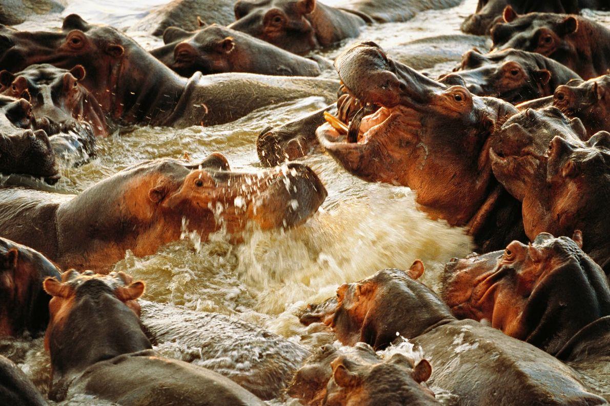 Lucha de hipopótamos