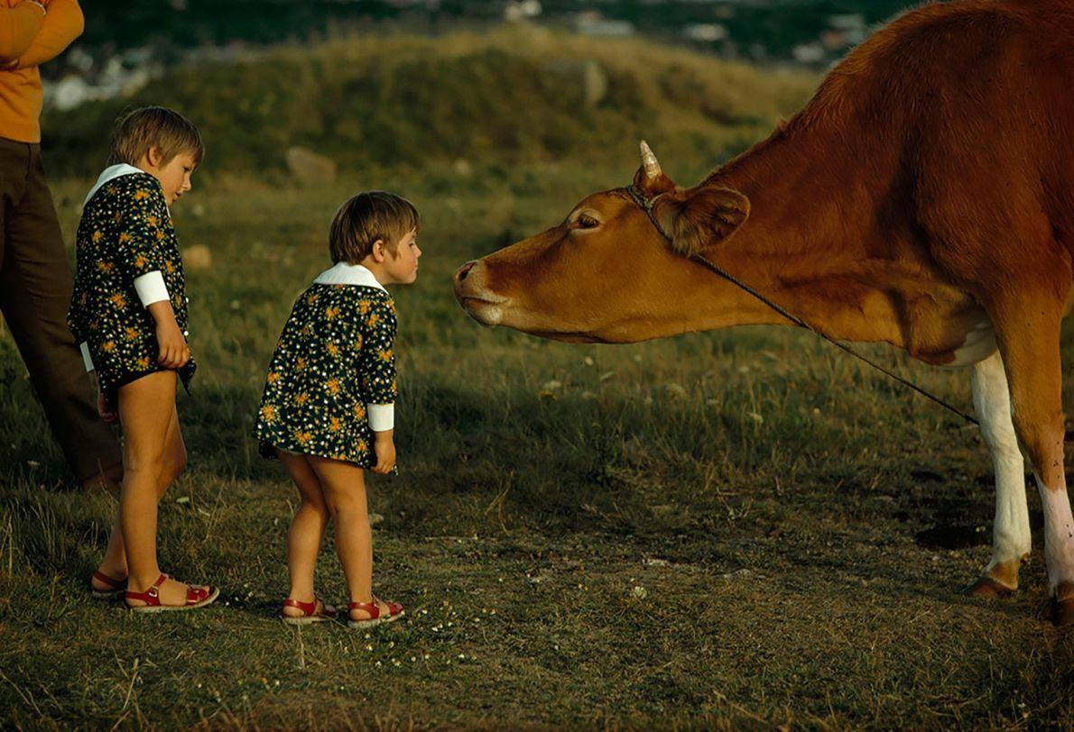 Vaca de Guernsey