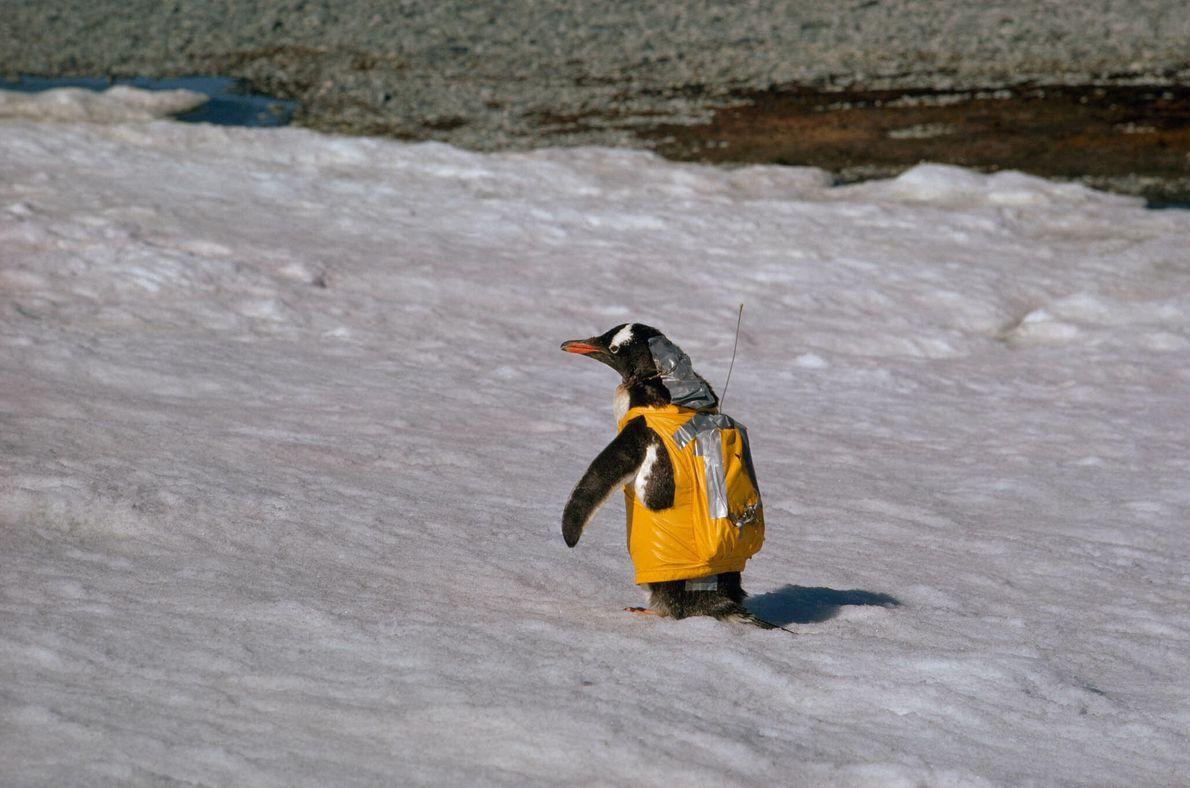 Pingüino con mochila