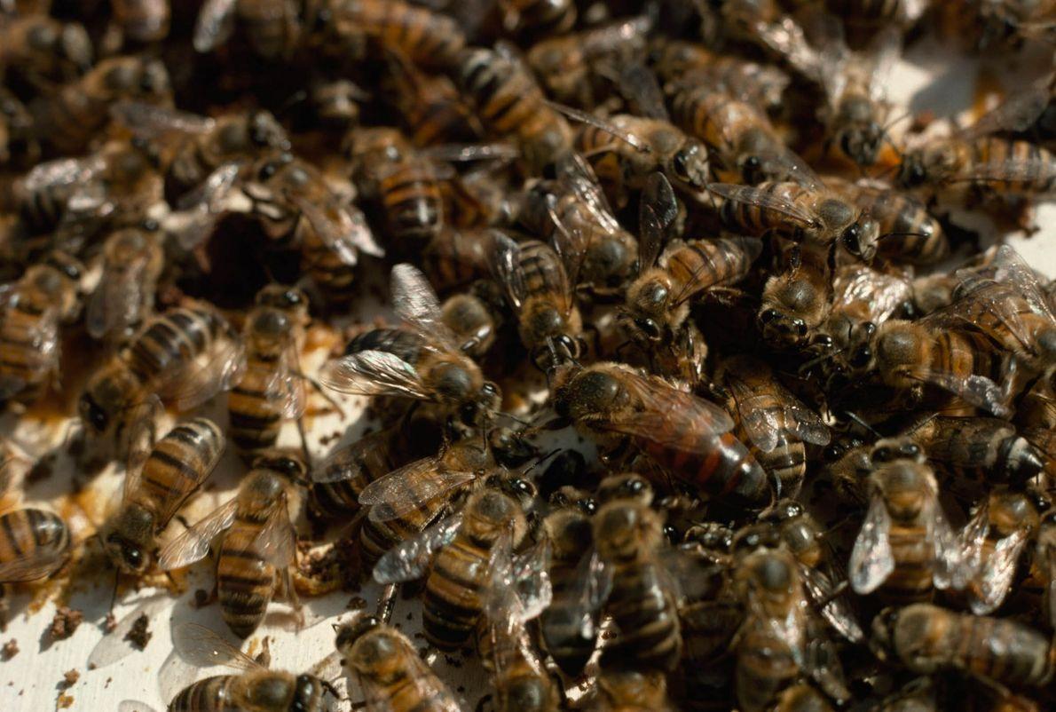 Las abejas obreras cuidan de una reina
