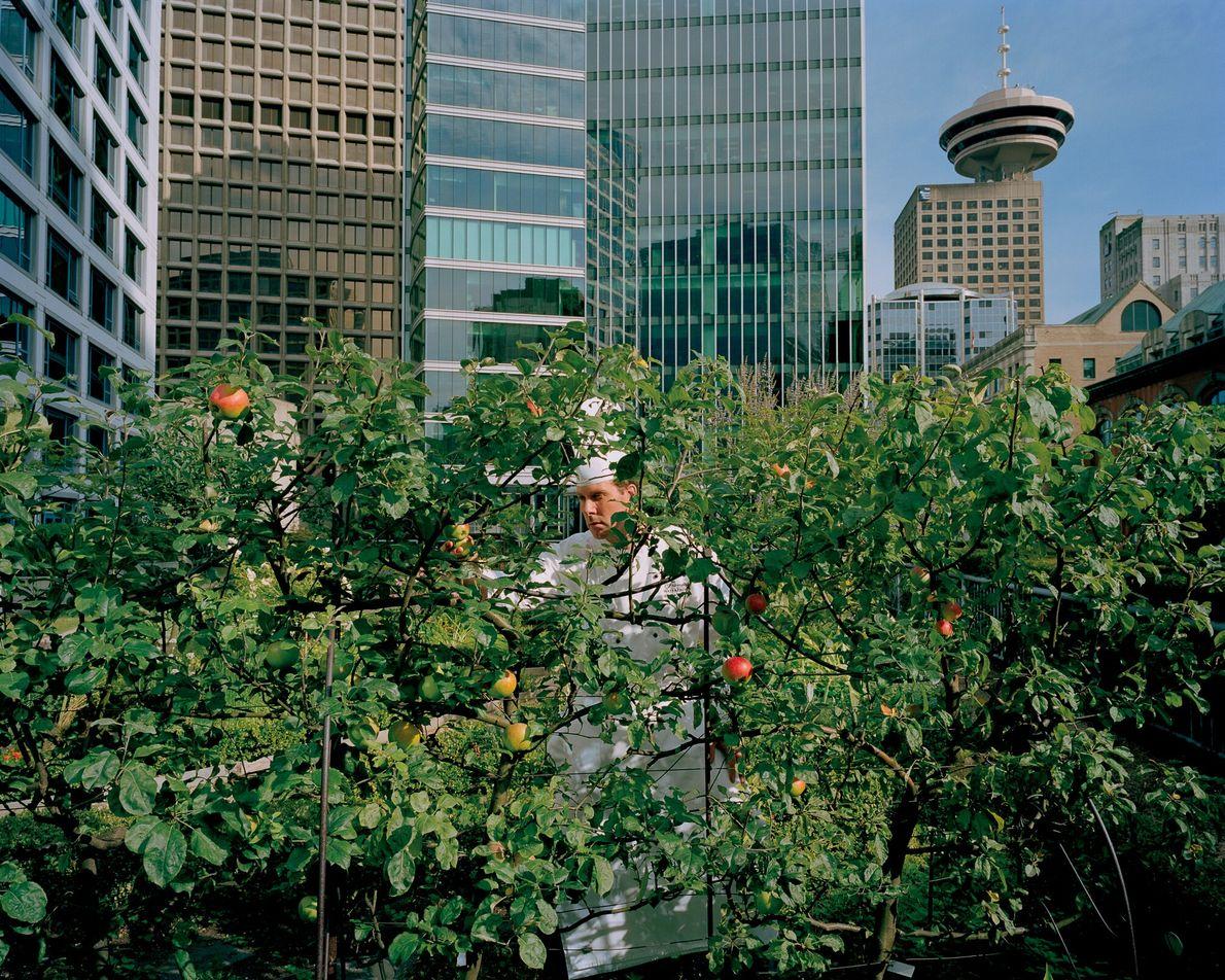 Imagen de un chef de un hotel de Vancouver cosechando manzanas