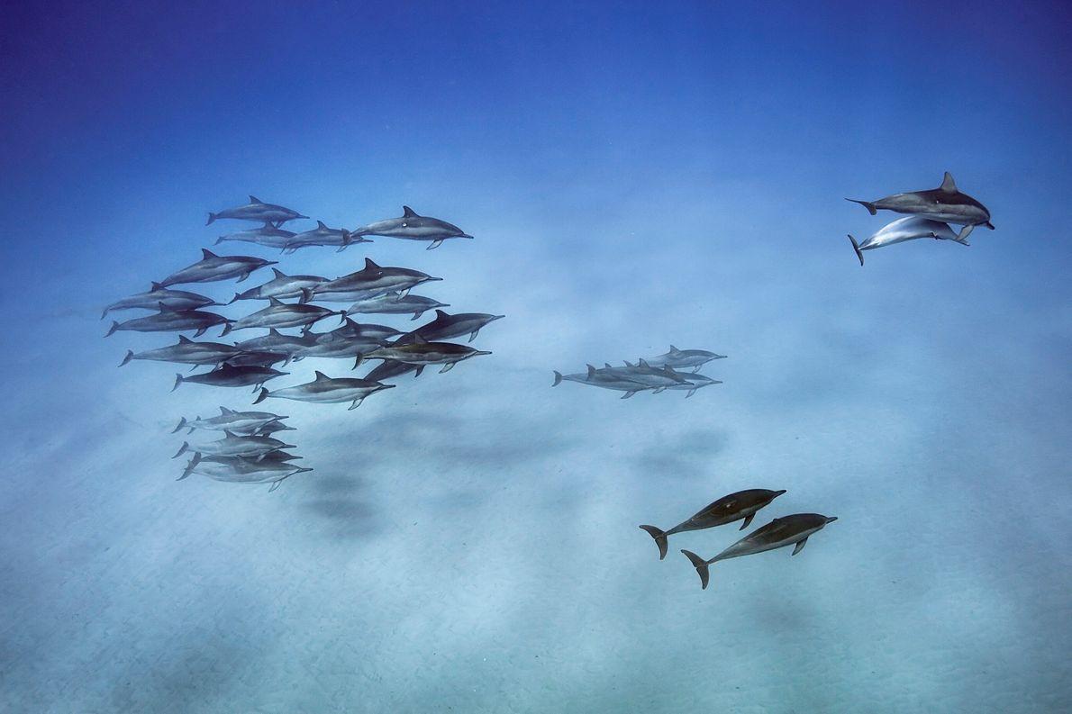 Imagen de delfines nadando por aguas cristalinas en Hawái