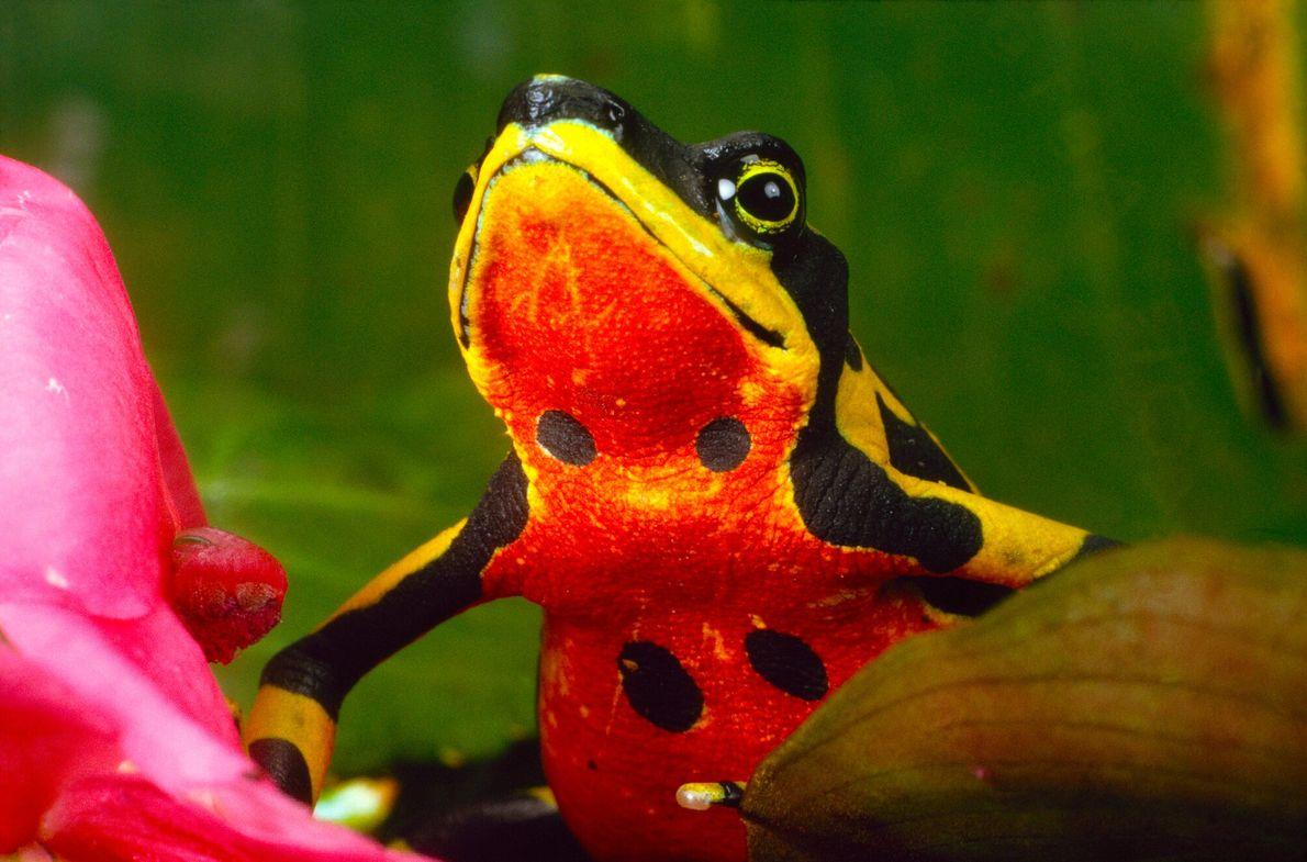 Imagen de una rana arlequín variable de Costa Rica