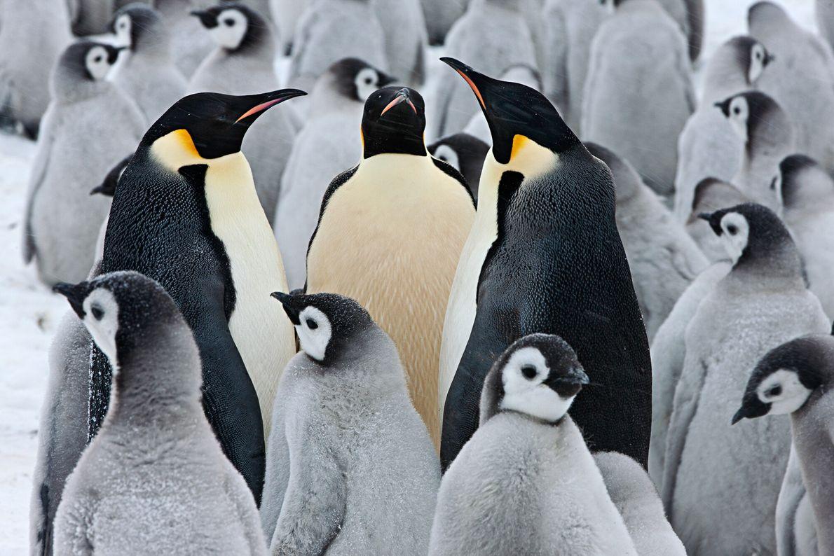 Imagen de tres pingüinos emperador rodeados de polluelos