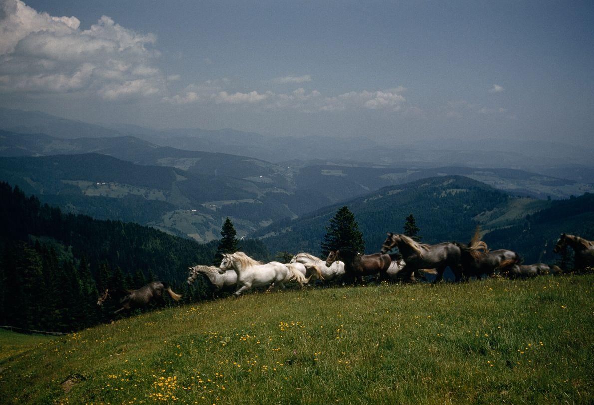 Caballos lipizzanos vagan libres por un prado alpino en Austria